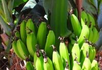 Био Банани от остров Крит